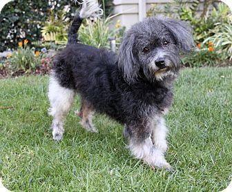 Poodle (Miniature)/Schnauzer (Miniature) Mix Dog for adoption in Newport Beach, California - JT