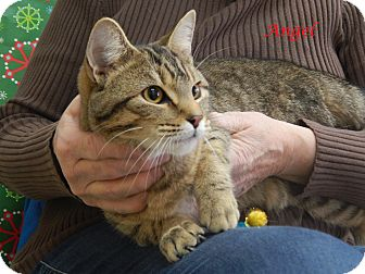 Domestic Shorthair Cat for adoption in Bucyrus, Ohio - Angel