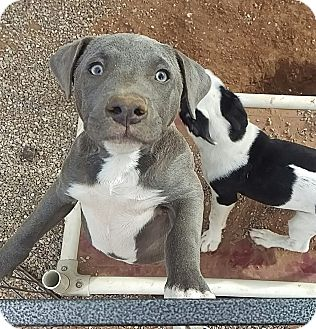 Pit Bull Terrier Mix Puppy for adoption in Apache Junction, Arizona - Zane