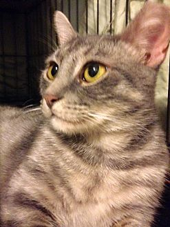 Domestic Shorthair Cat for adoption in Brooklyn, New York - Cagney the Sun-Cat!