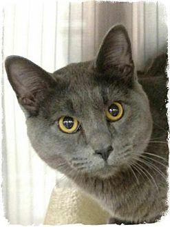 Russian Blue Cat for adoption in Pueblo West, Colorado - Lil George