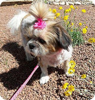 Shih Tzu Mix Dog for adoption in Las Vegas, Nevada - Isabella