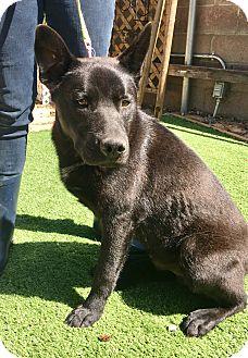 Husky/German Shepherd Dog Mix Puppy for adoption in Santa Ana, California - Oso