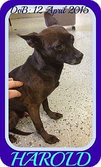 Chihuahua Mix Dog for adoption in Mount Royal, Quebec - HAROLD