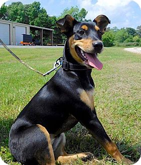 Terrier (Unknown Type, Medium) Mix Puppy for adoption in St. Francisville, Louisiana - Chloe