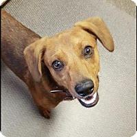 Adopt A Pet :: Sampson - Longview, TX