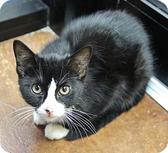 Domestic Shorthair Kitten for adoption in Benbrook, Texas - Kara