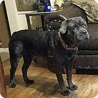 Adopt A Pet :: Rosie - Wichita Falls, TX