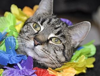 American Bobtail Cat for adoption in Liberty, North Carolina - Becca