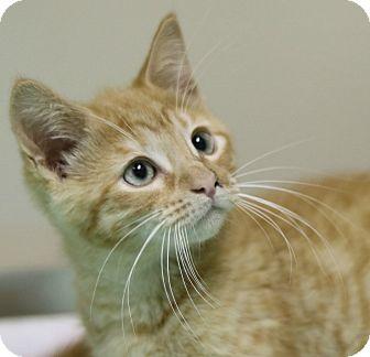 Domestic Shorthair Kitten for adoption in Cedartown, Georgia - 35727980