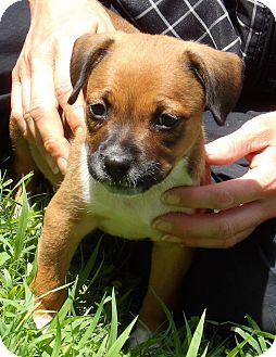 Boxer/Terrier (Unknown Type, Small) Mix Puppy for adoption in Williamsport, Maryland - Rue (3 lb) Video