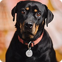 Adopt A Pet :: Krystal - Portland, OR