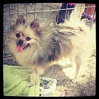 Adopt A Pet :: Laci - Grand Bay, AL
