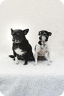 Terrier (Unknown Type, Medium) Dog for adoption in Davie, Florida - Spice & Sugar