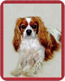 Cavalier King Charles Spaniel Dog for adoption in North Palm Beach, Florida - Cassie