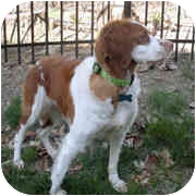 Brittany Dog for adoption in Odenton, Maryland - BELLE