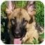 Photo 1 - German Shepherd Dog Dog for adoption in Los Angeles, California - Leilani von Graulich