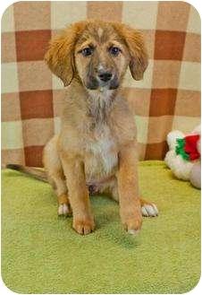Golden Retriever Mix Puppy for adoption in Buffalo, New York - Streudel: 3 months