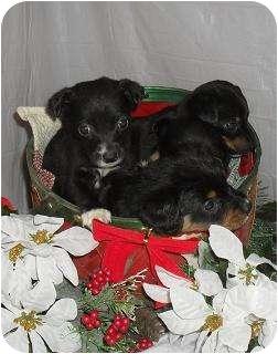 Chihuahua/Dachshund Mix Puppy for adoption in Chandlersville, Ohio - Reba's pups