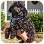 Photo 1 - Poodle (Toy or Tea Cup) Puppy for adoption in Westport, Connecticut - *Zippity-Doo-Da - PENDING