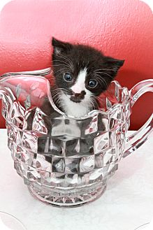 Domestic Shorthair Kitten for adoption in Clearfield, Utah - Science