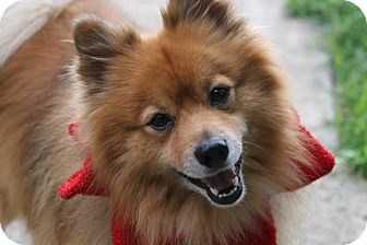 Pomeranian Dog for adoption in Mount Gretna, Pennsylvania - Dallas