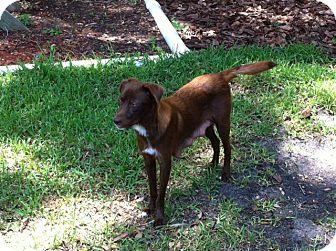 Labrador Retriever/Australian Shepherd Mix Dog for adoption in Largo, Florida - MANDA