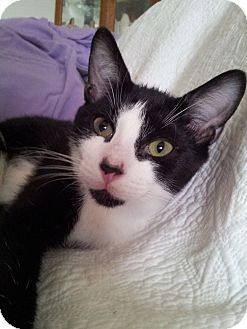 Domestic Shorthair Kitten for adoption in Little Falls, New Jersey - Micestro (KL)