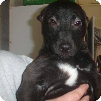 Labrador Retriever/Shepherd (Unknown Type) Mix Puppy for adoption in Old Bridge, New Jersey - Perdi