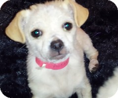 Wirehaired Fox Terrier/Terrier (Unknown Type, Small) Mix Puppy for adoption in Tracy, California - Cody Adopted!!