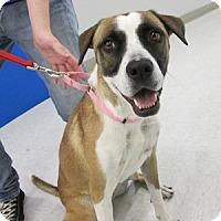 Adopt A Pet :: Shoogs - Gilbert, AZ