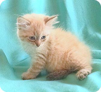 Siamese Kitten for adoption in Washington, D.C. - Alec (SC)