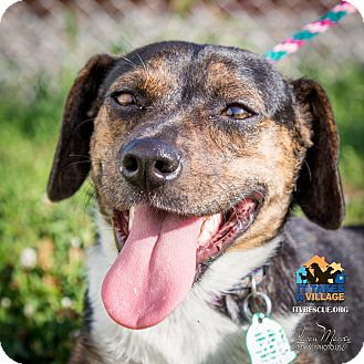 Beagle Mix Dog for adoption in Evansville, Indiana - Otto