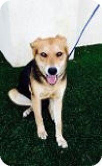 Shepherd (Unknown Type) Mix Puppy for adoption in Las Vegas, Nevada - Cassie