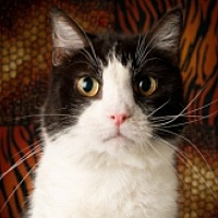 Domestic Shorthair Cat for adoption in St. Charles, Illinois - Rex