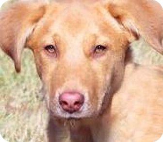Labrador Retriever Mix Puppy for adoption in Winchester, Kentucky - NALA(GENTLE-CALM-ADORABLE!!