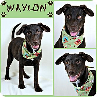 Labrador Retriever Mix Puppy for adoption in Jackson, Mississippi - Waylon