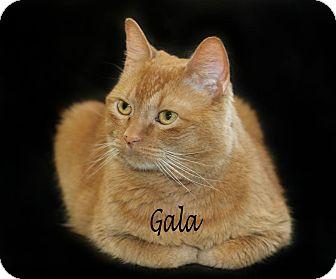 Domestic Shorthair Cat for adoption in Idaho Falls, Idaho - Gala