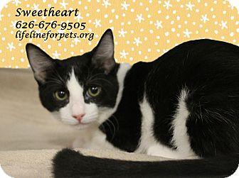 Domestic Shorthair Kitten for adoption in Monrovia, California - A Kitten Girl: SWEETHEART