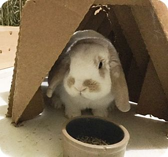 Mini Lop Mix for adoption in Moneta, Virginia - Wallace