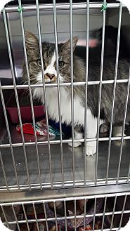 Domestic Longhair Cat for adoption in Cody, Wyoming - Hercules