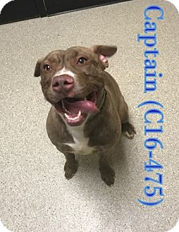 Pit Bull Terrier Mix Dog for adoption in Tiffin, Ohio - Captain
