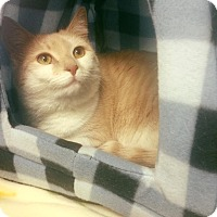 Domestic Shorthair Cat for adoption in Burlington, North Carolina - CREAM PUFF