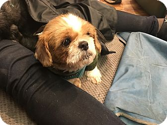 Shih Tzu Mix Dog for adoption in New York, New York - Squirrel