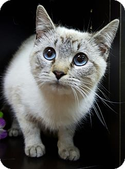 Siamese Cat for adoption in Albemarle, North Carolina - Melania Trump