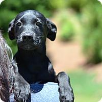 Adopt A Pet :: Kentucky - Derby Litter - Acworth, GA