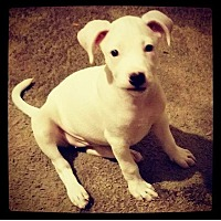 American Bulldog Mix Puppy for adoption in Grand Bay, Alabama - Brighton