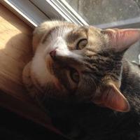 Adopt A Pet :: Trouble Shanley - Oswego, NY