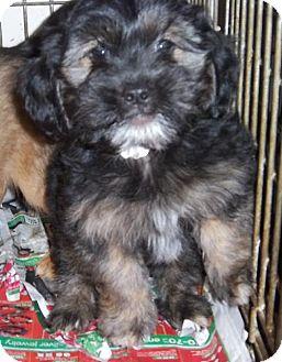Shih Tzu/Chihuahua Mix Puppy for adoption in Anderson, South Carolina - Blinken