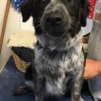 Adopt A Pet :: Dicey - Brownwood, TX